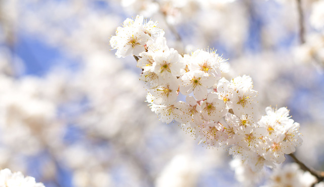 _MG_1579.さくらんぼ花.jpg